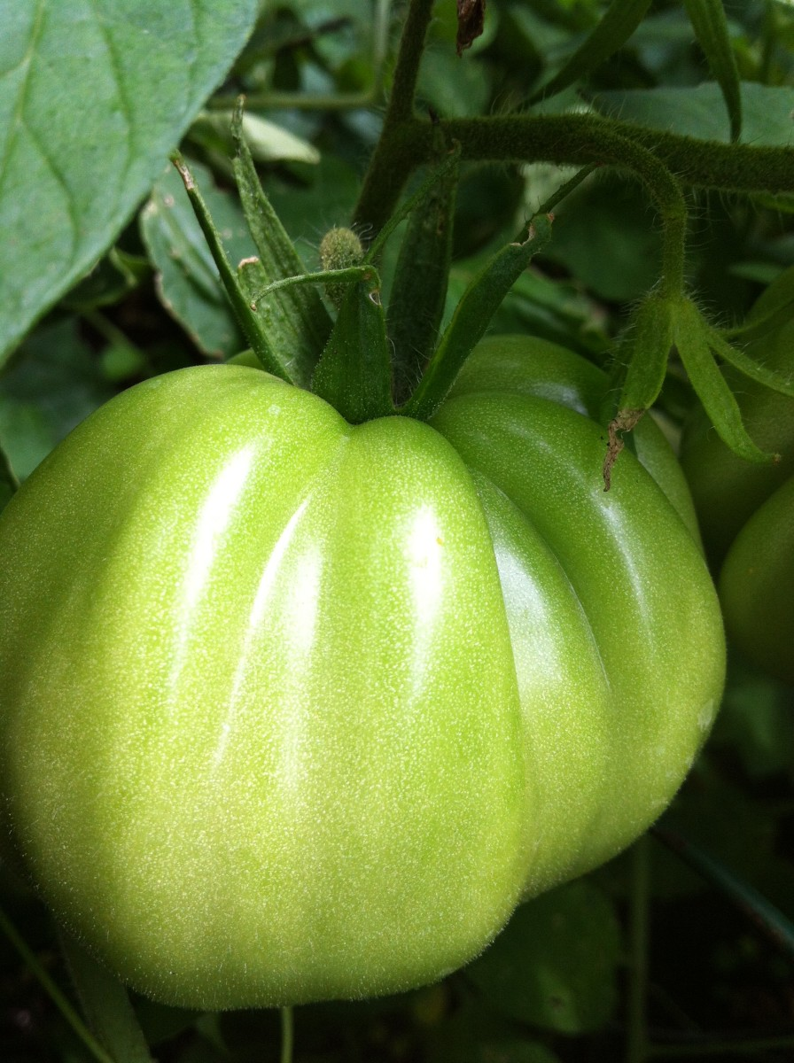 Heirloom tomatoes have amazing flavour.