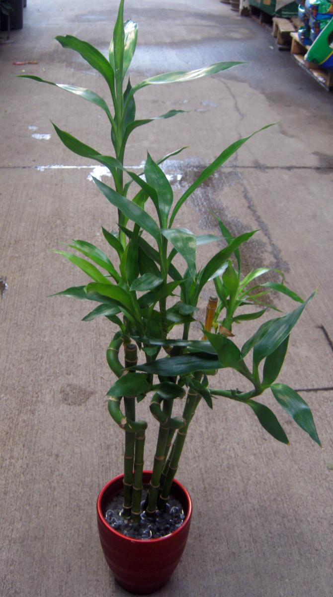 Lucky Bamboo or Dracena Sanderiana