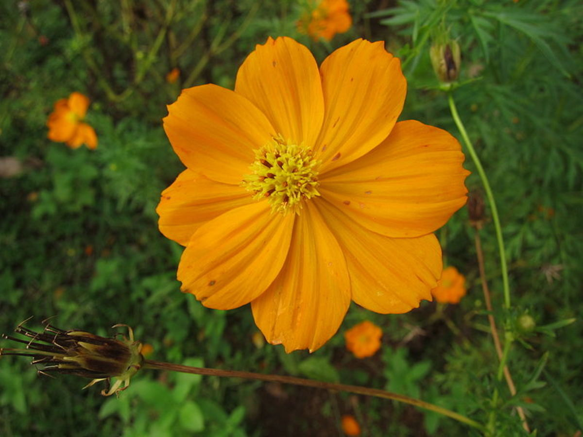 Cosmos are delicate, but gorgeous, flowers that come in a wide variety of colors, including  yellow, white, scarlet, pink, rose and red.