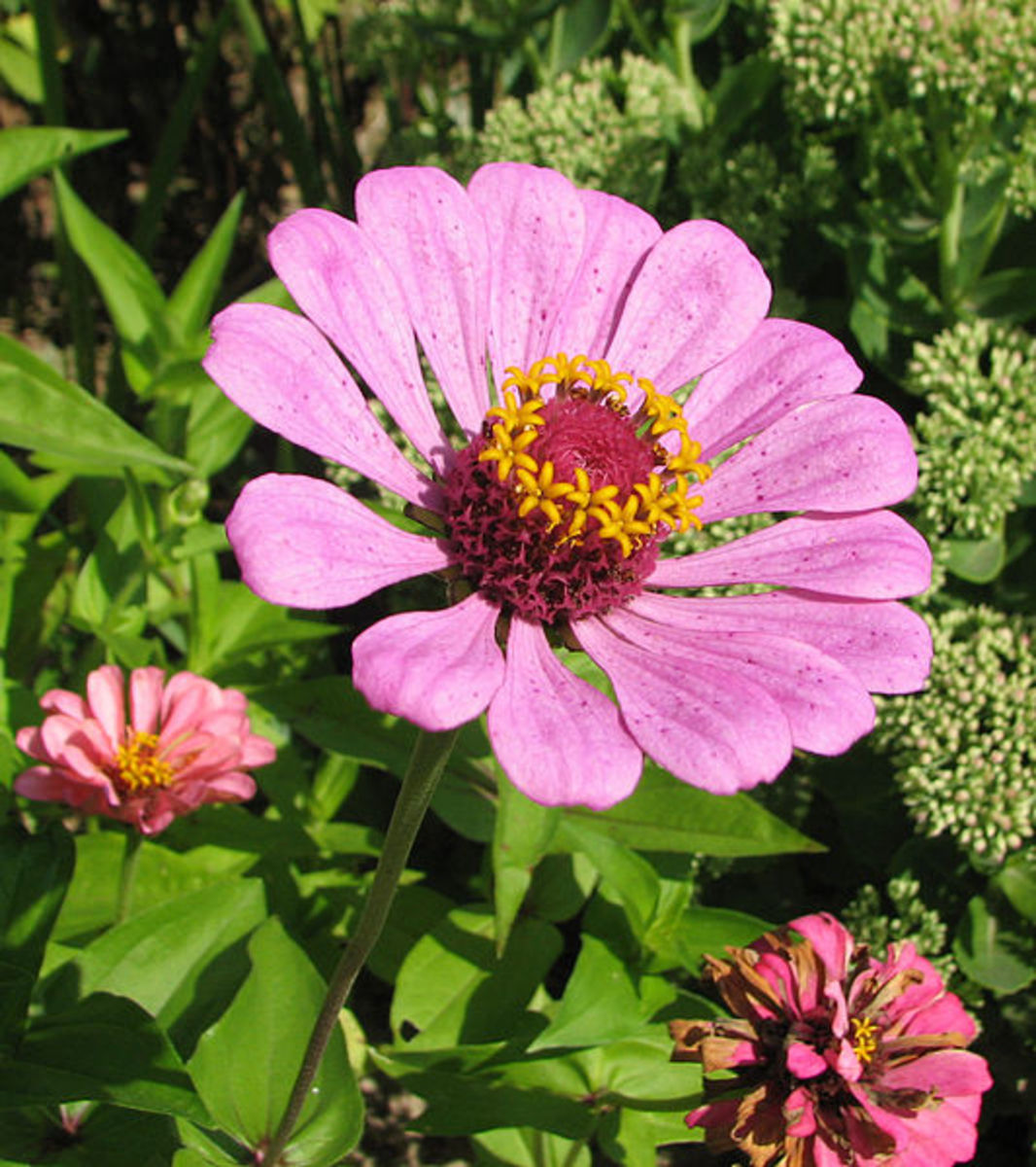 Zinnias are beautiful flowers that are easy to grow from seed.