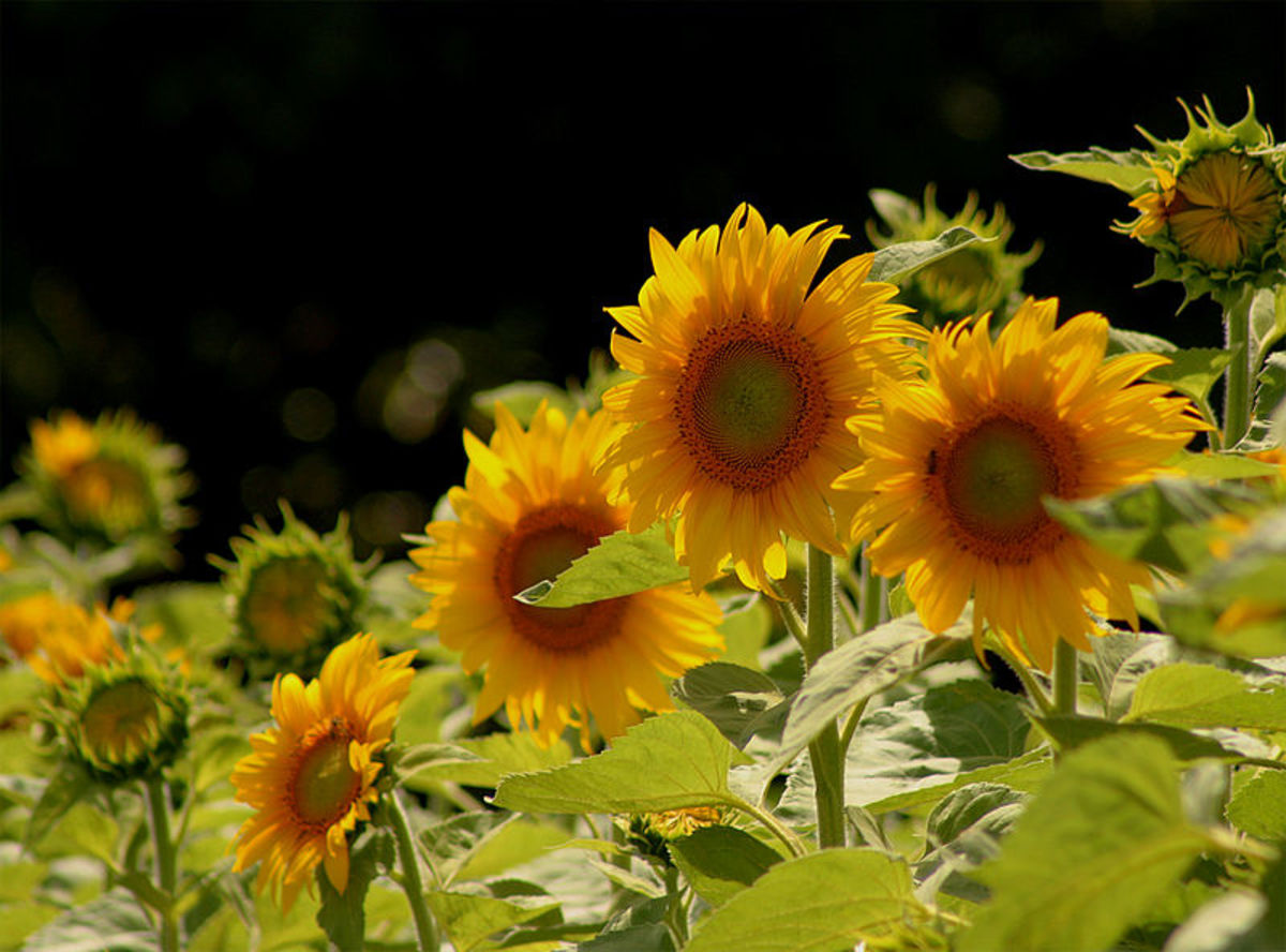 Few plants spark as much curiosity and joy in children as sunflowers.