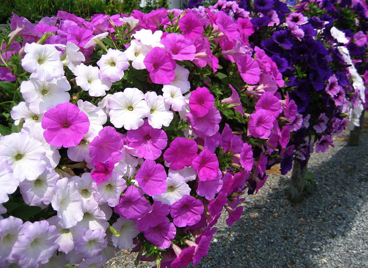 Since they come in most all colors of the rainbow and look wonderful in all kinds of beddings, petunias are a classic summer favorite.