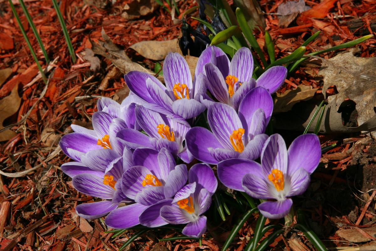 Crocuses bloom in early spring.