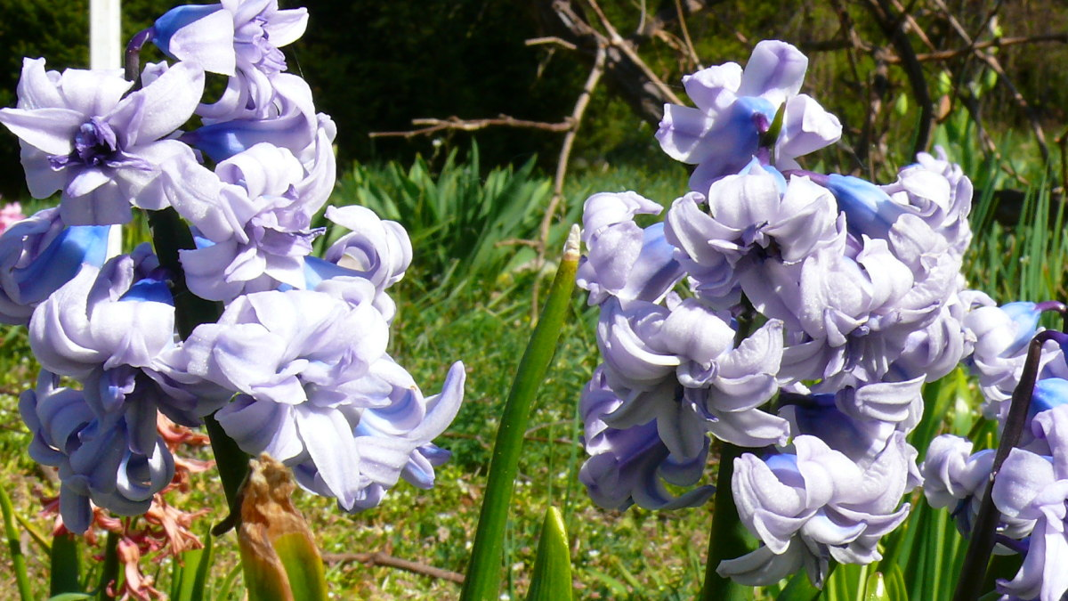 General Koehler is a beautiful variety of hyacinth.