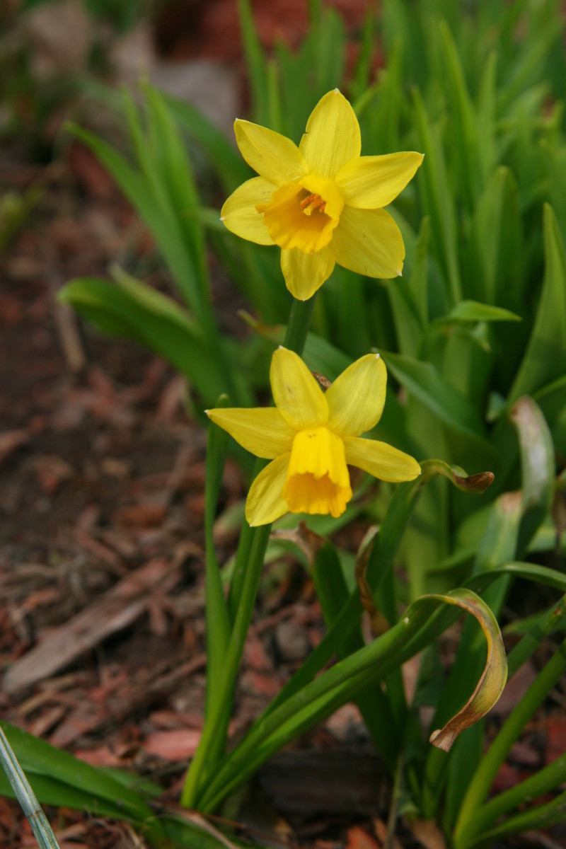Some daffodil varieties, such as the Tete a Tete pictured here,  bloom in early spring, bringing a bright spot of color to the yard.