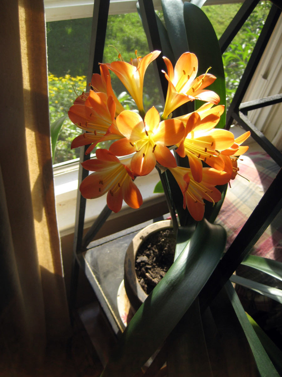 Clivea prefers a northeast facing window with a bit of shade in summer