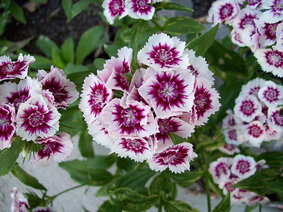 Garden Phlox.
