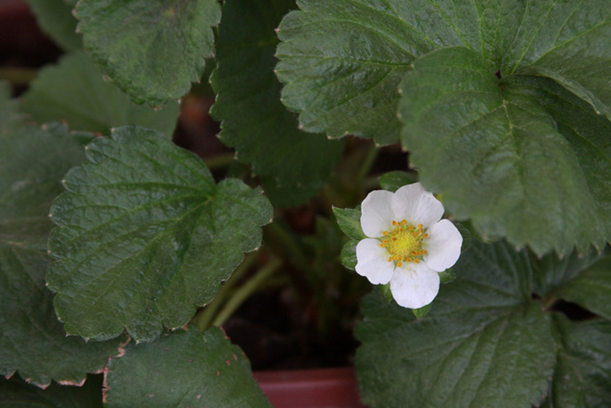 This is the strawberry flower. It grows from a leafless stem.