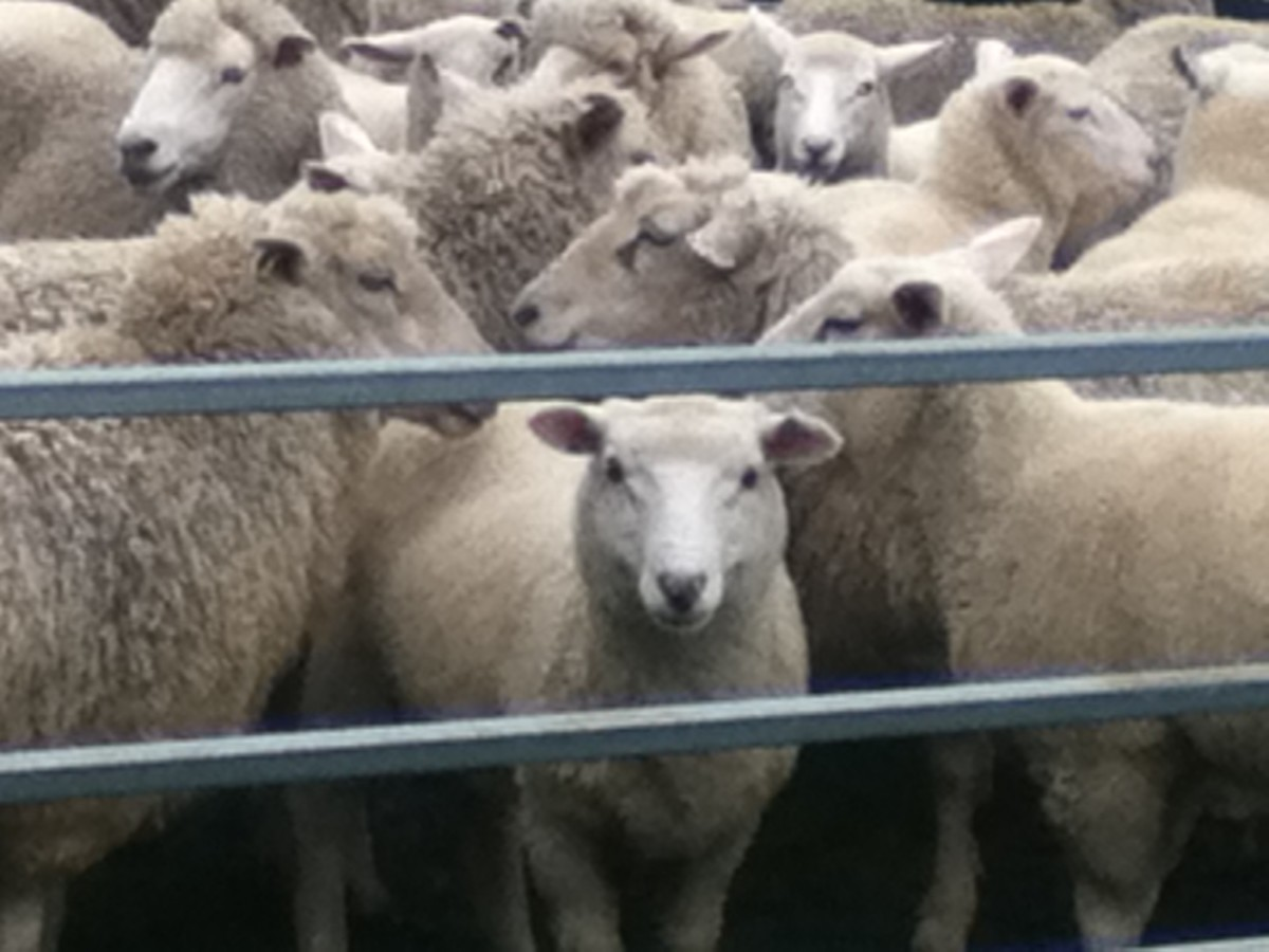 When you know nothing about sheep but you want to buy one, it helps to have an experienced local tell you if the cute one is a good investment.