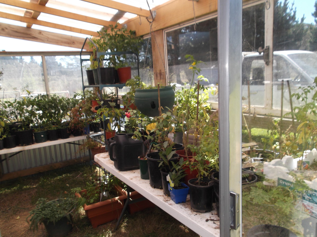 Our new greenhouse extension on the garden shed is built mainly from recycled windows and doors.