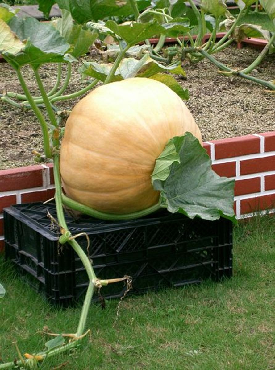 How You Can Grow Giant Pumpkins