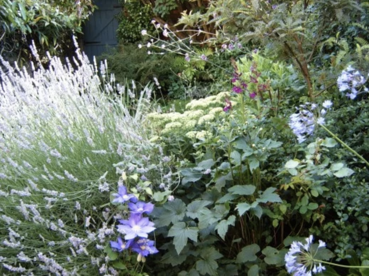 Lavender, clematis and Anemone create a froth of blues and violets.