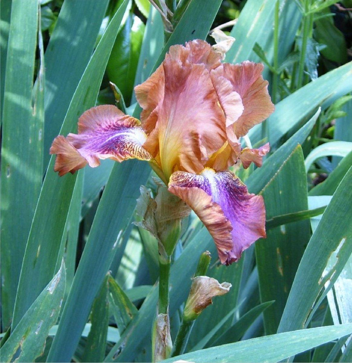 Bearded Iris.  Photograph by Helen Lush