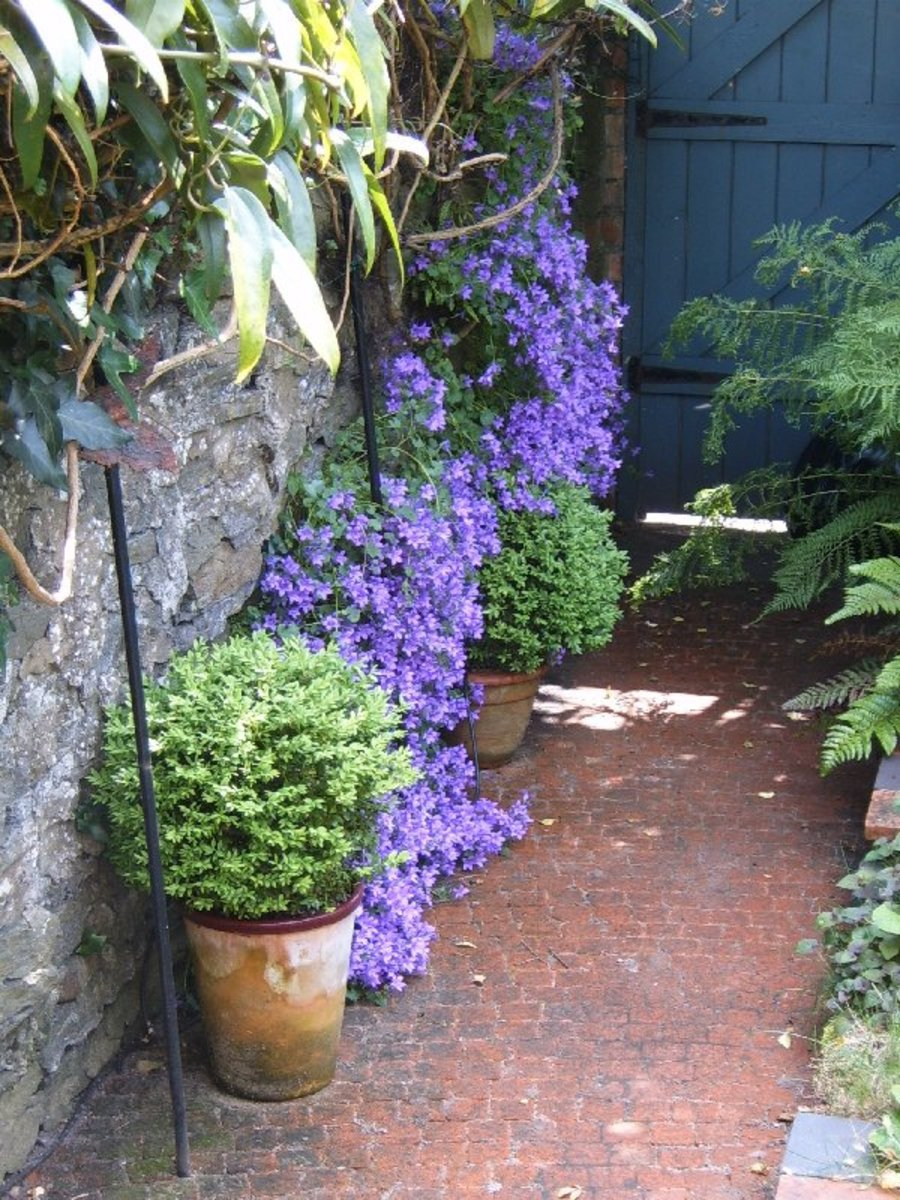 Campanula growing in the wall.  Photograph by Helen Lush