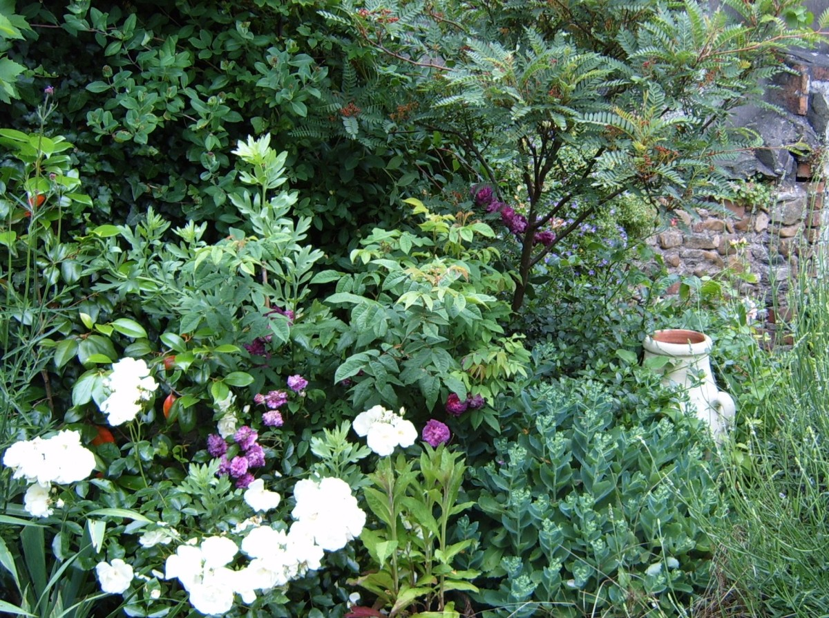 Sorbus vilmorinii underplanted with roses, lavender and Ice plant. Photograph by author.