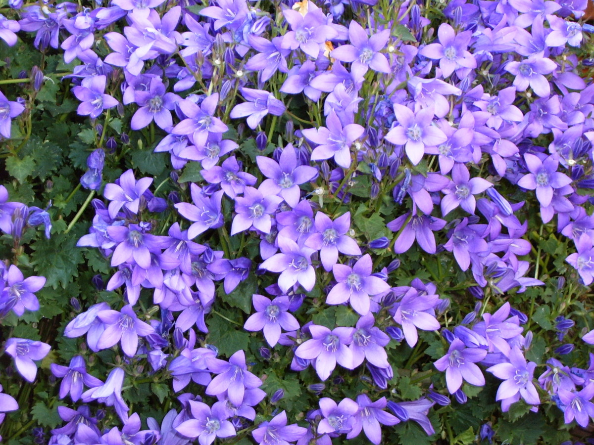 In May purple pillows of Campanula grace the stone walls.