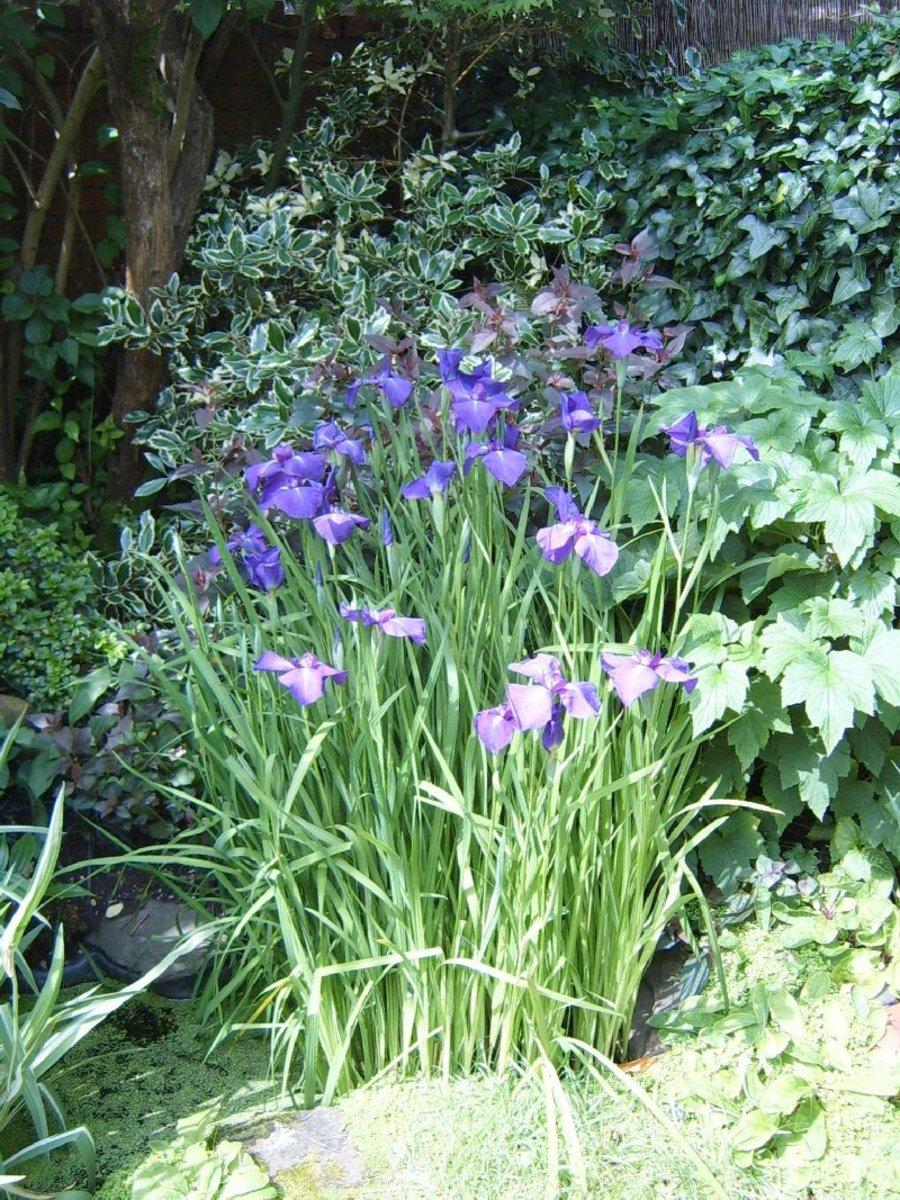 Water Iris.  Photograph by Helen Lush.