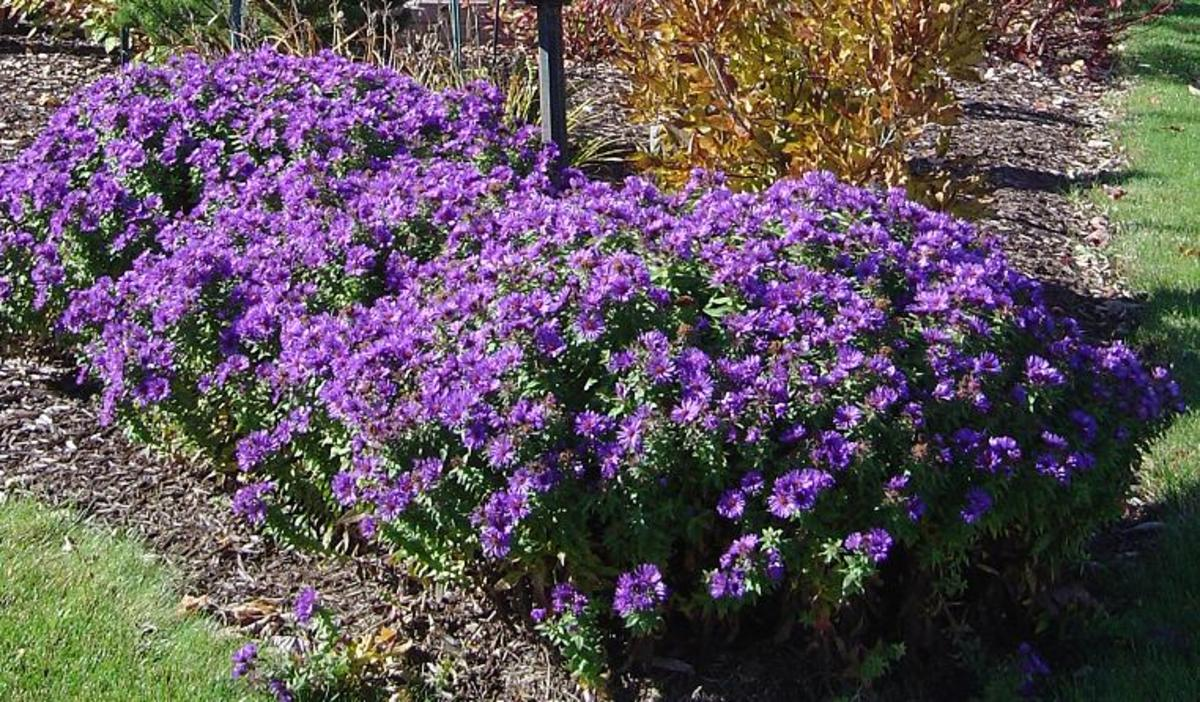 Asters Flowers Purple Purple Dome Aster May be The