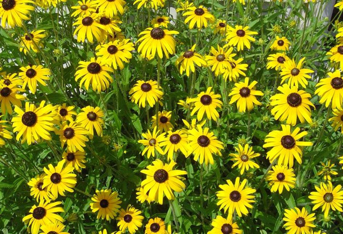 Rudbeckia, or black-eyed Susan, is a very bright addition to the late summer and early fall landscape that will offer color for several weeks.