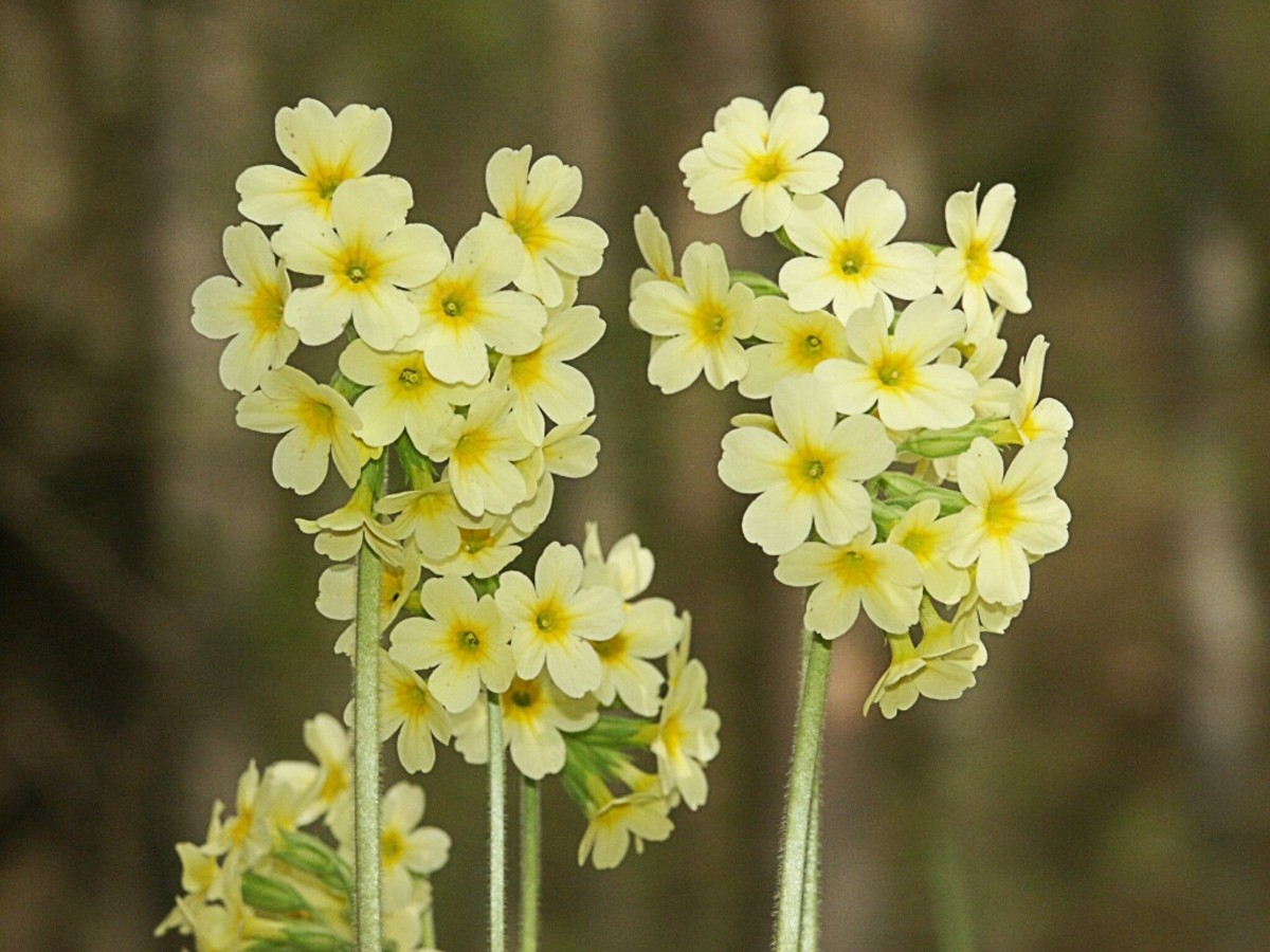 The oxlip (Primula elatior) is a wildflower.