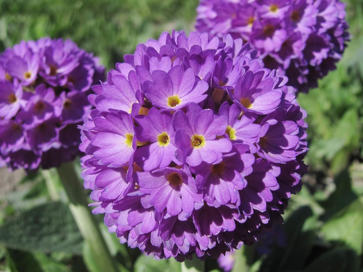 A drumstick primrose