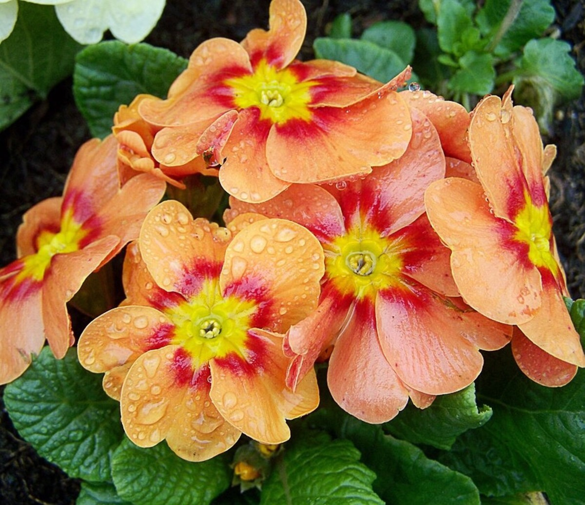 Another primula