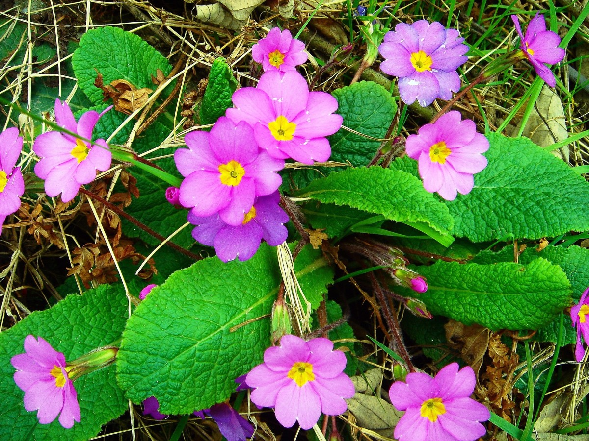 A pink subpecies of the common primrose