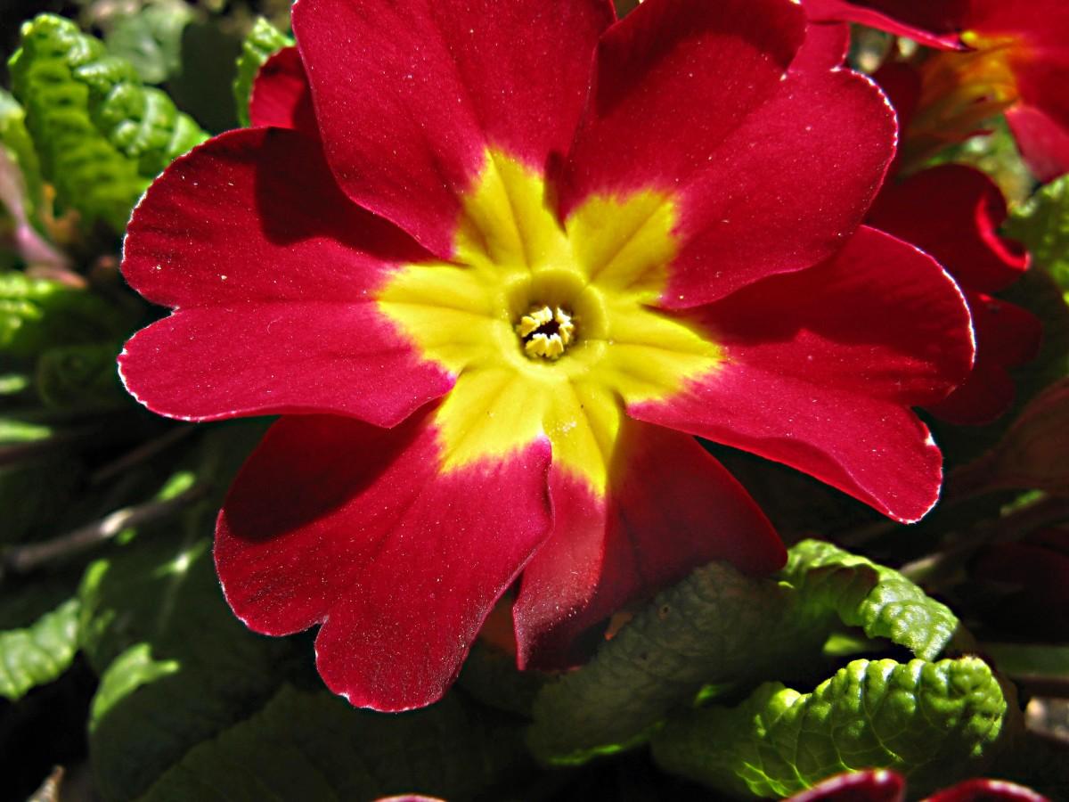 A thrum-eyed polyanthus primrose