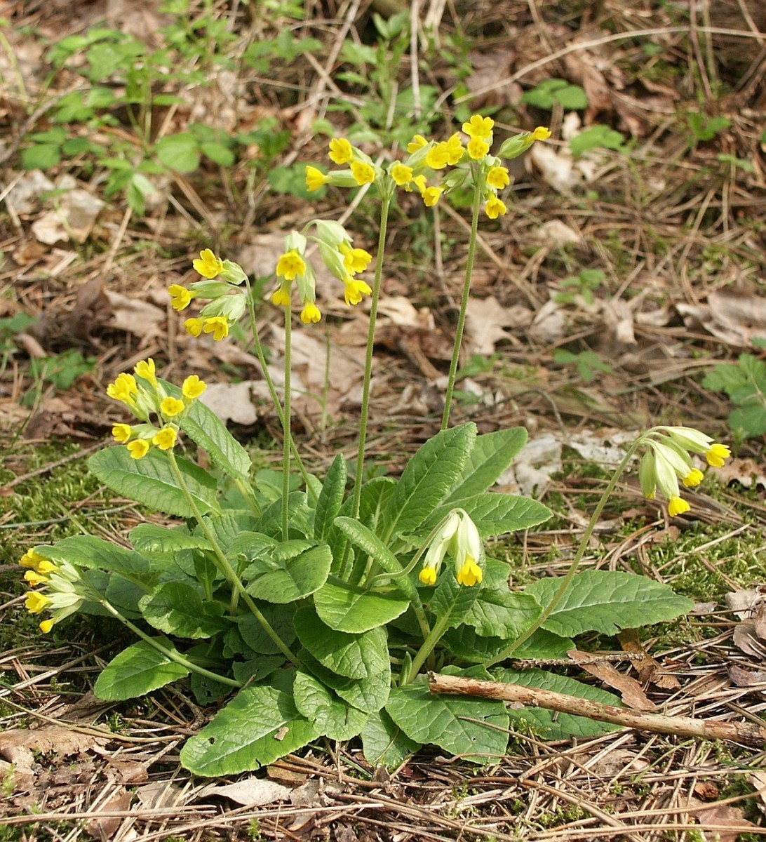 The cowslip