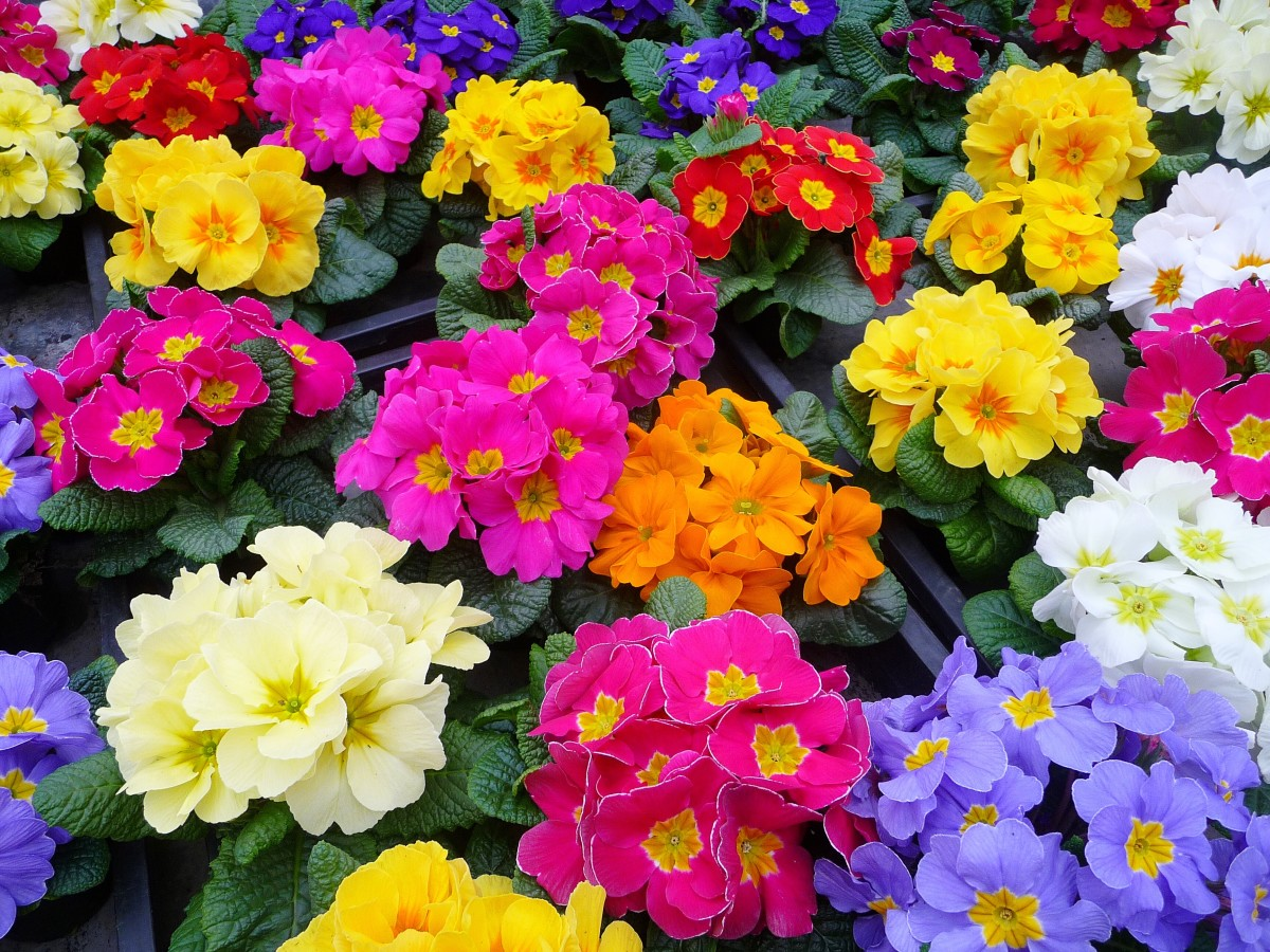 A colourful group of cultivated primulas