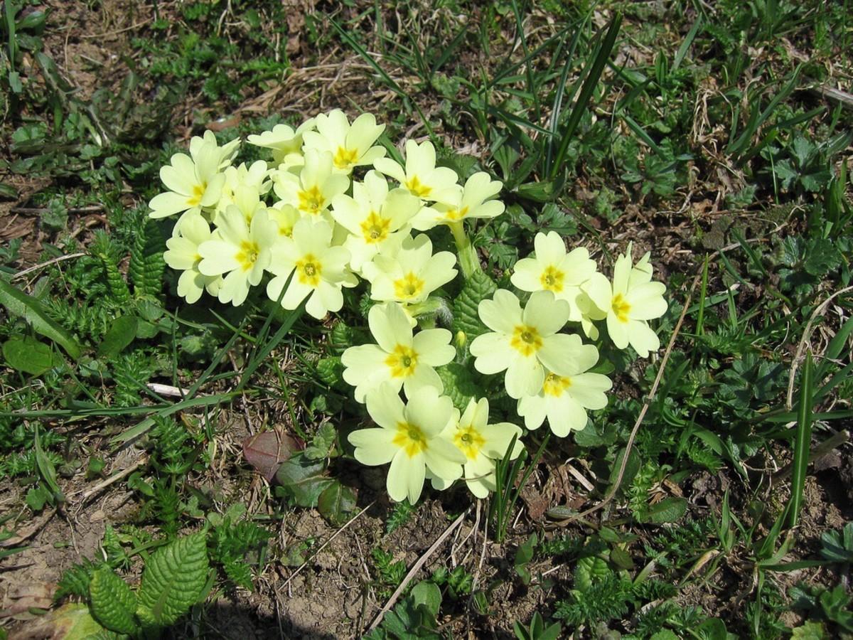 The English or common primrose