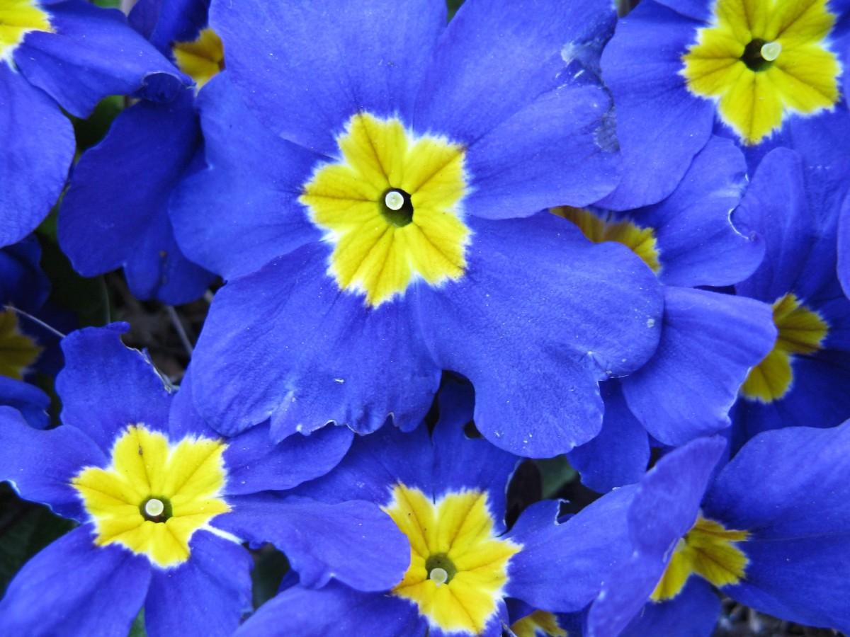 A blue polyanthus primrose