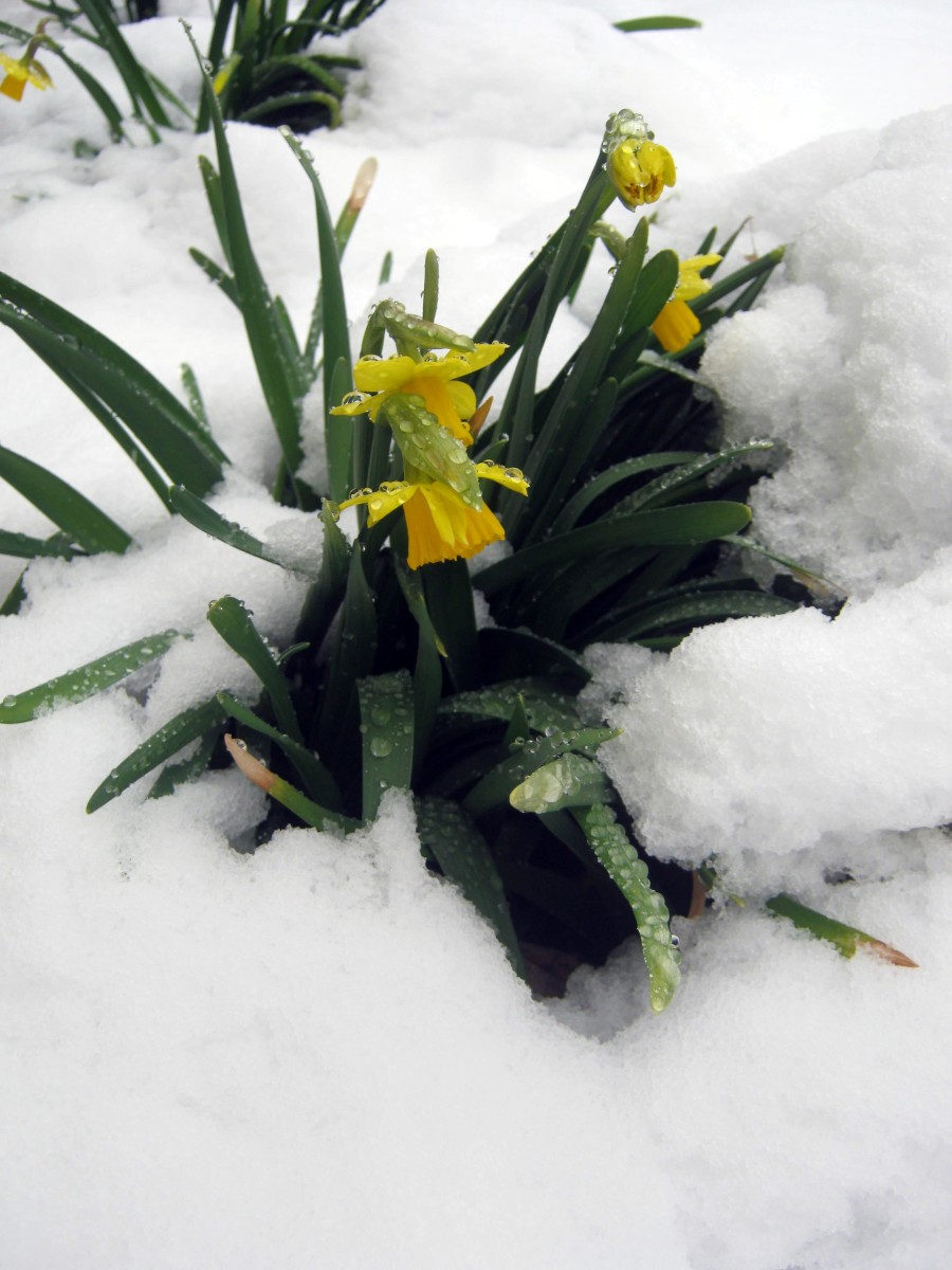 Dwarf daffodils blooming in the snow.