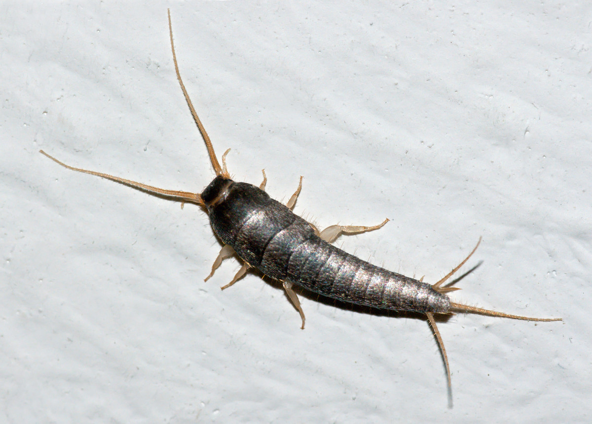 Close-up of a Silverfish.