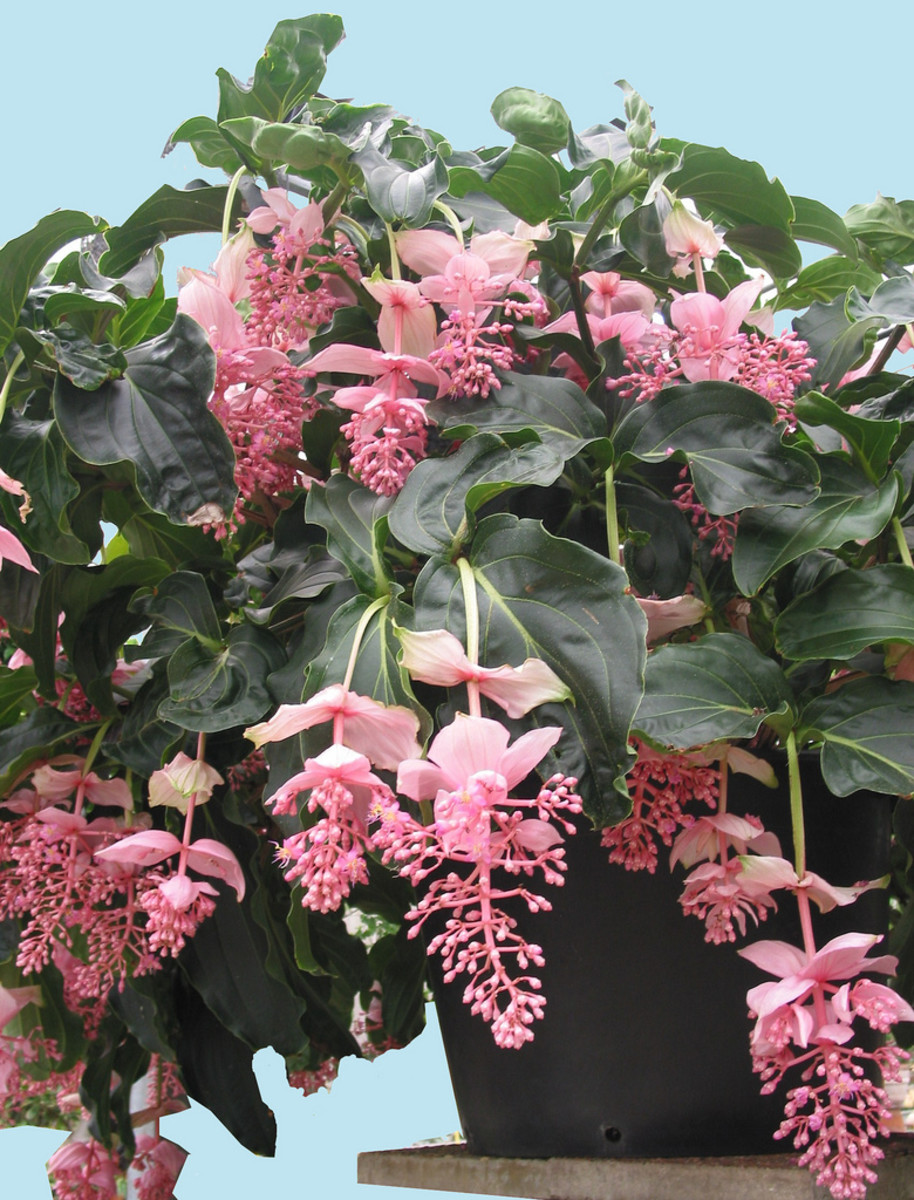medinilla magnifica aka the malaysian orchid or the pink lantern dengarden. Black Bedroom Furniture Sets. Home Design Ideas