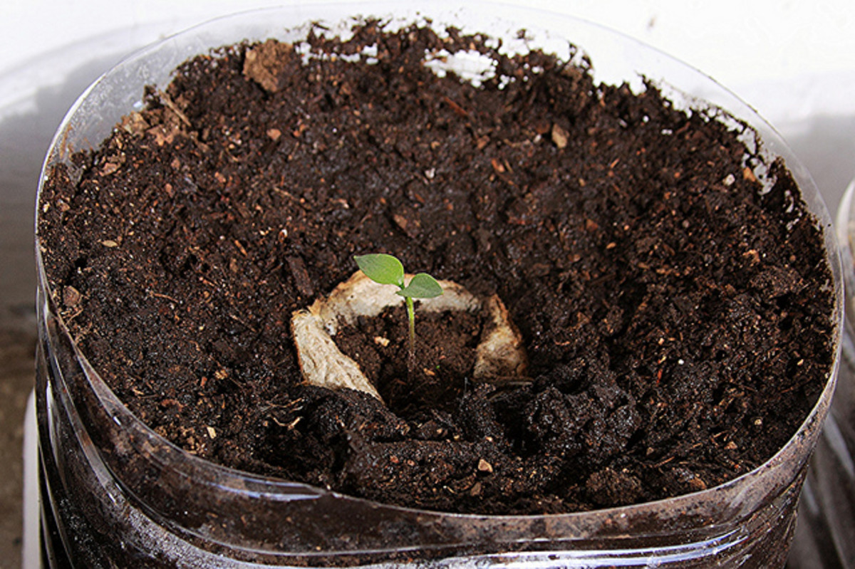 Put the plant in the hole, cover with a little earth if needed, and water gently.