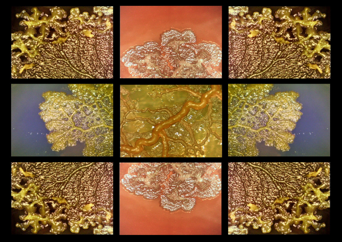 "In Greek mythology, the Hydra was a nine-headed monster that grew two heads whenever one was lopped off. This video is a microscopic time-lapsed view of the slime mold Physarum Polycephalum, the latter word Latin for ""many-headed."""