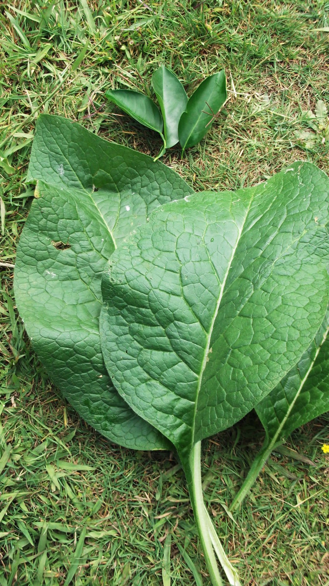 I grow these large, fresh comfrey leaves in my organic garden.