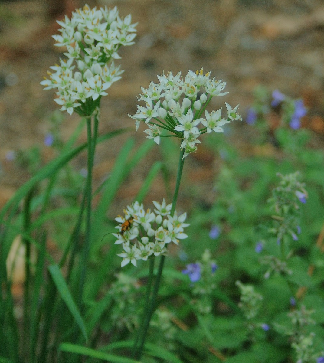 Chives are among the open-pollinated vegetable and herb seeds sold by Sweet Corn Organic Nursery.