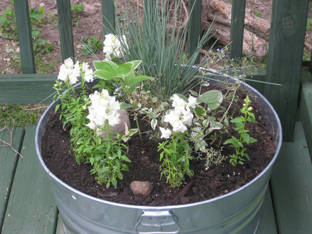 An old galvanized tub gets new life as a charming planter!