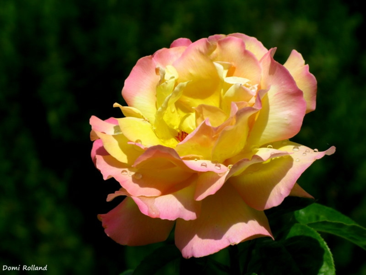 how-to-treat-blackspot-disease-on-roses