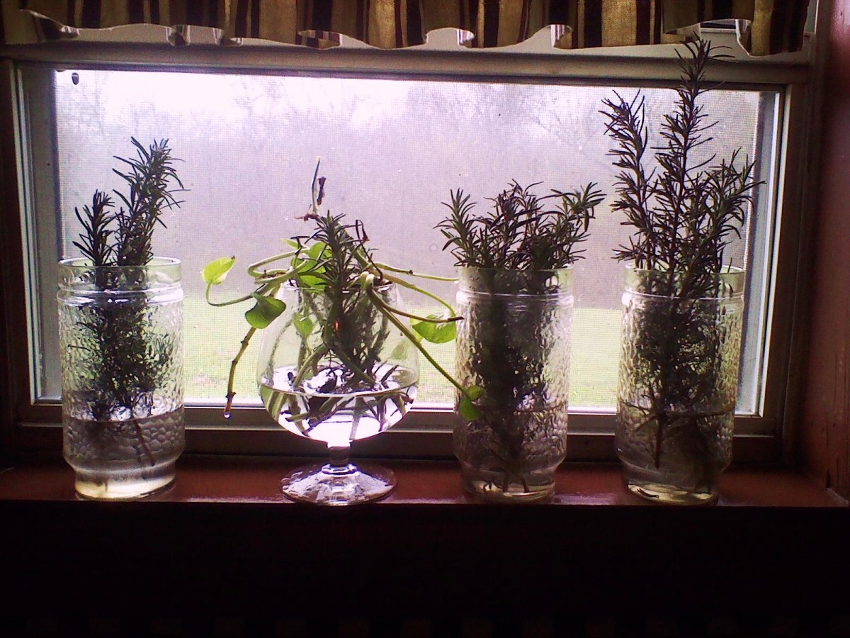 Rosemary cuttings rooting in the kitchen window.