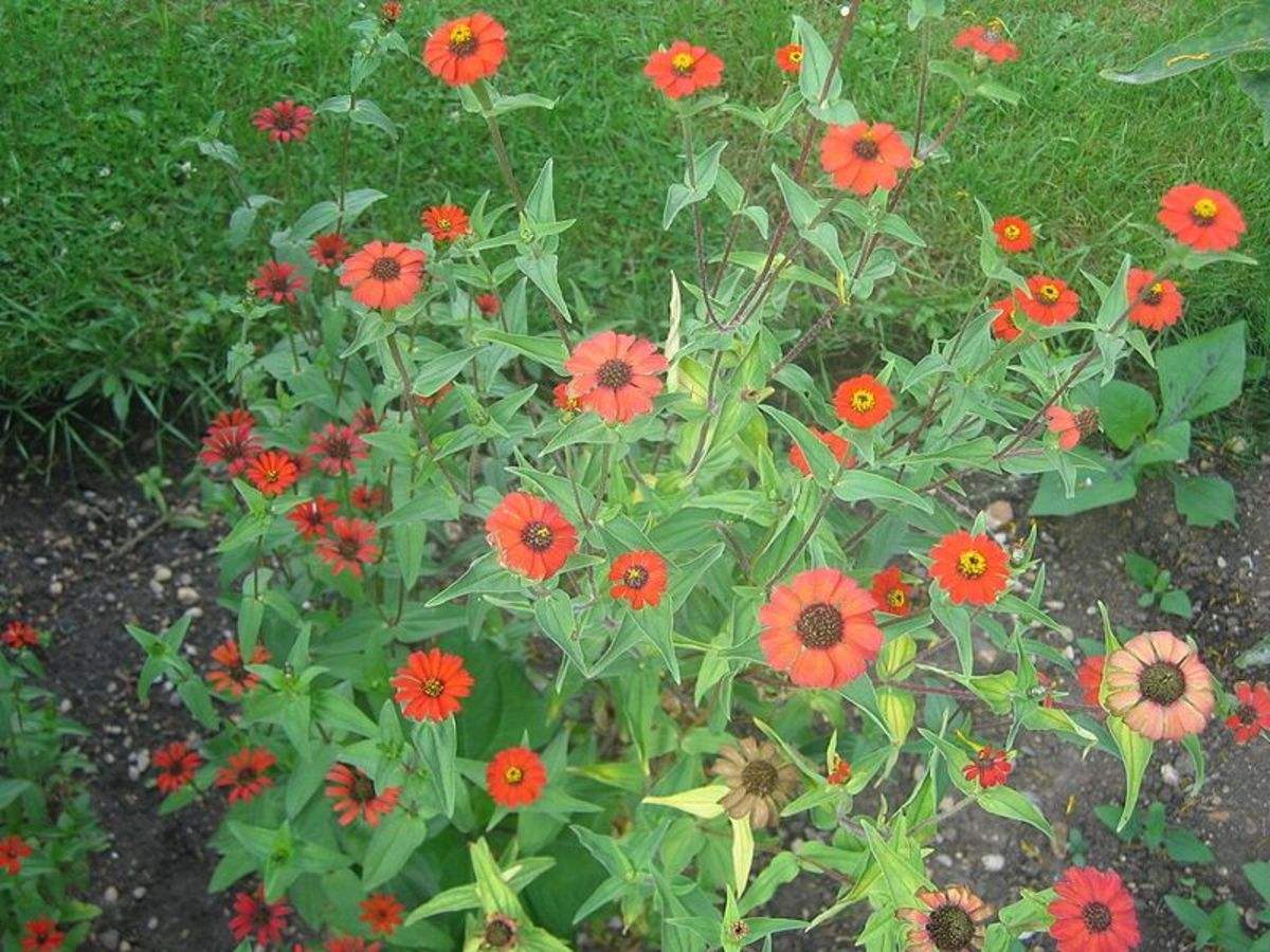 Zinnias are fast and easy for kids to grow.
