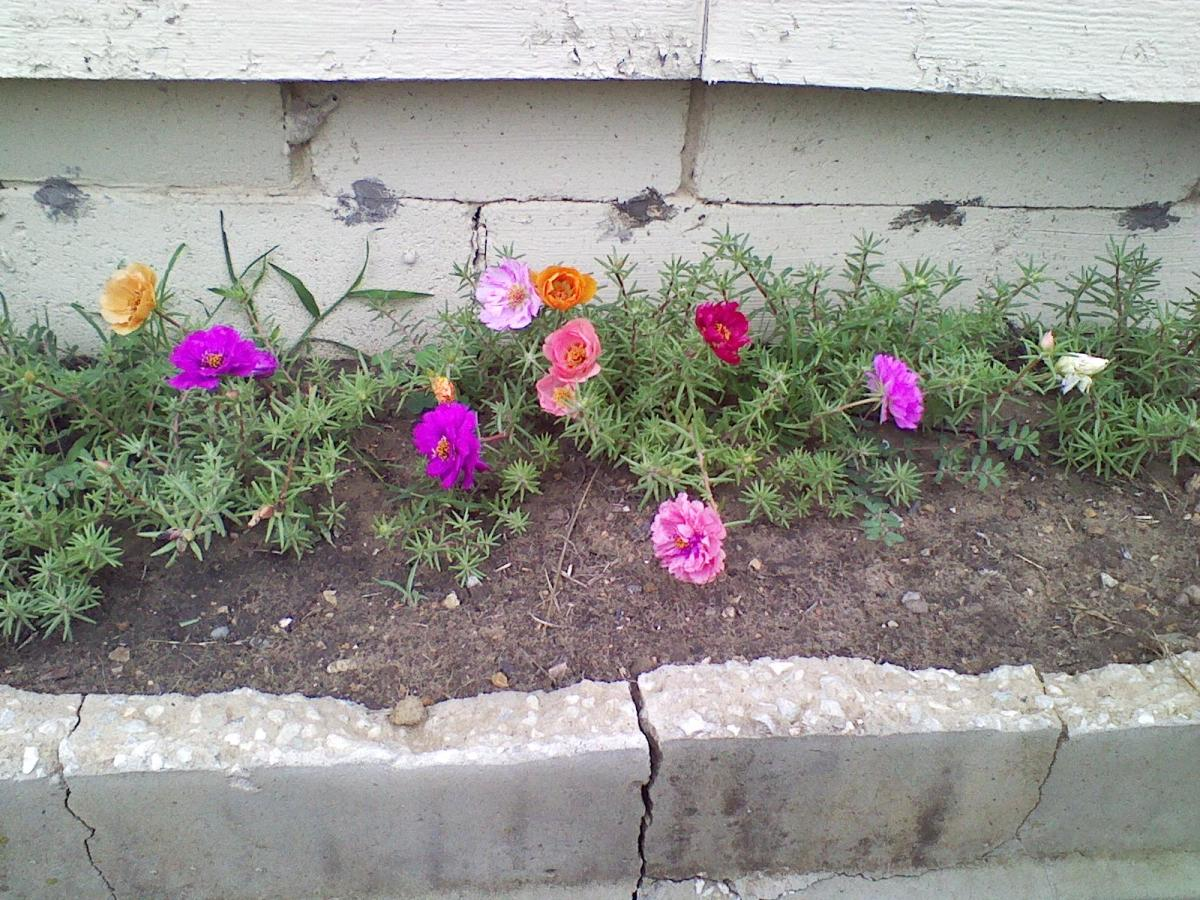 A small overturned cement step becomes a toddler sized bed for the mystical portulaca plant.