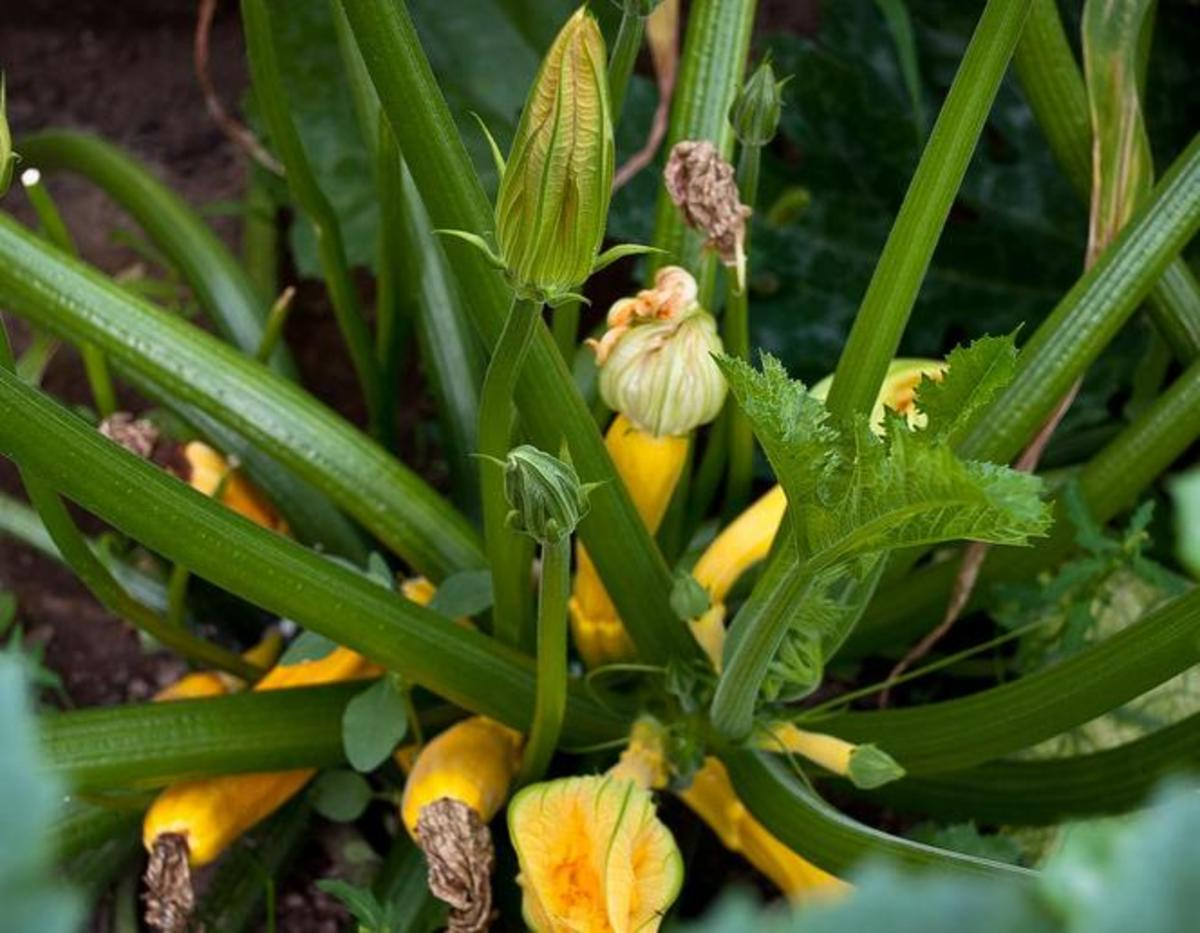Summer squash will grow quickly and are a great way to get more out of your garden in summer.