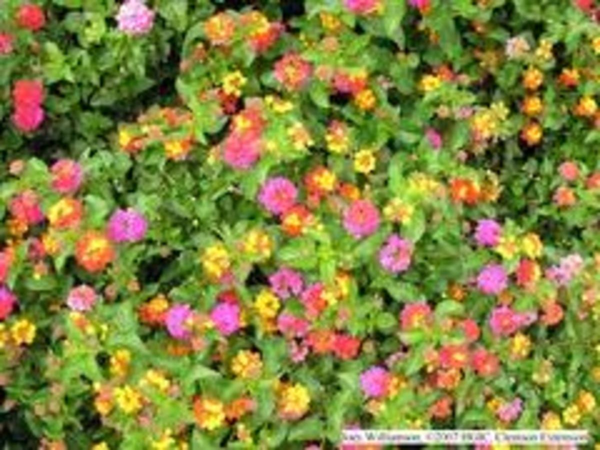 Beautiful Lantana.