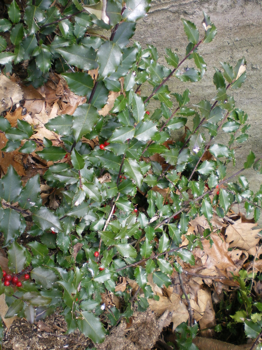 Holly shrubs are good for planting near bird feeders.