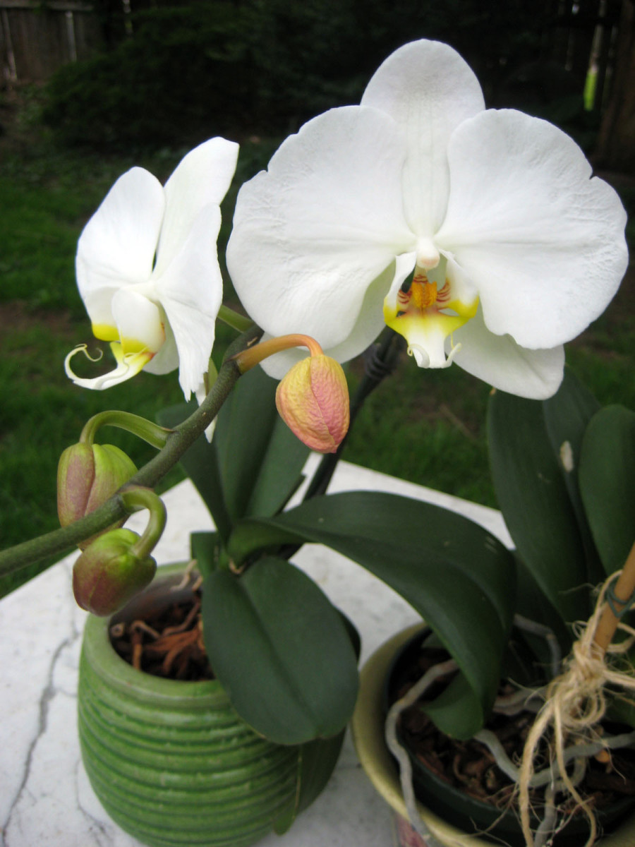 Moth orchid.