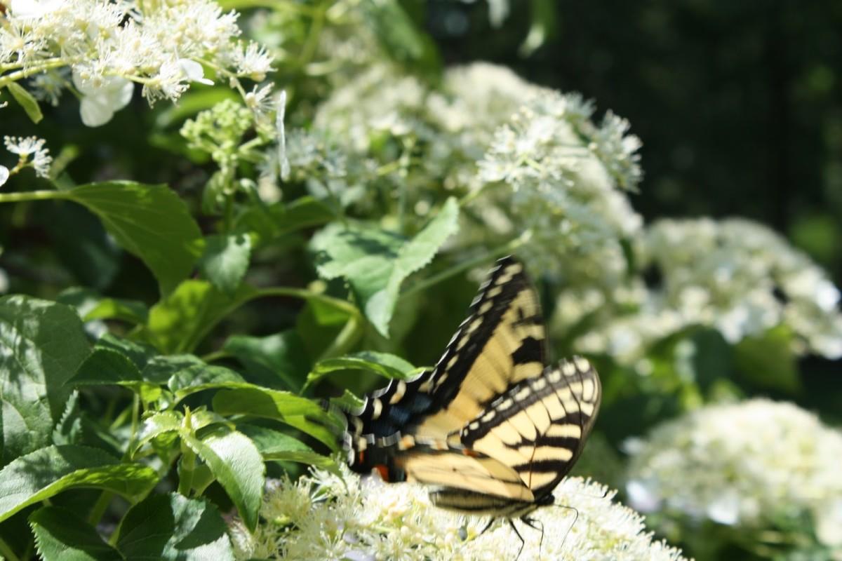 Butterflies love climbing hydrangeas too!