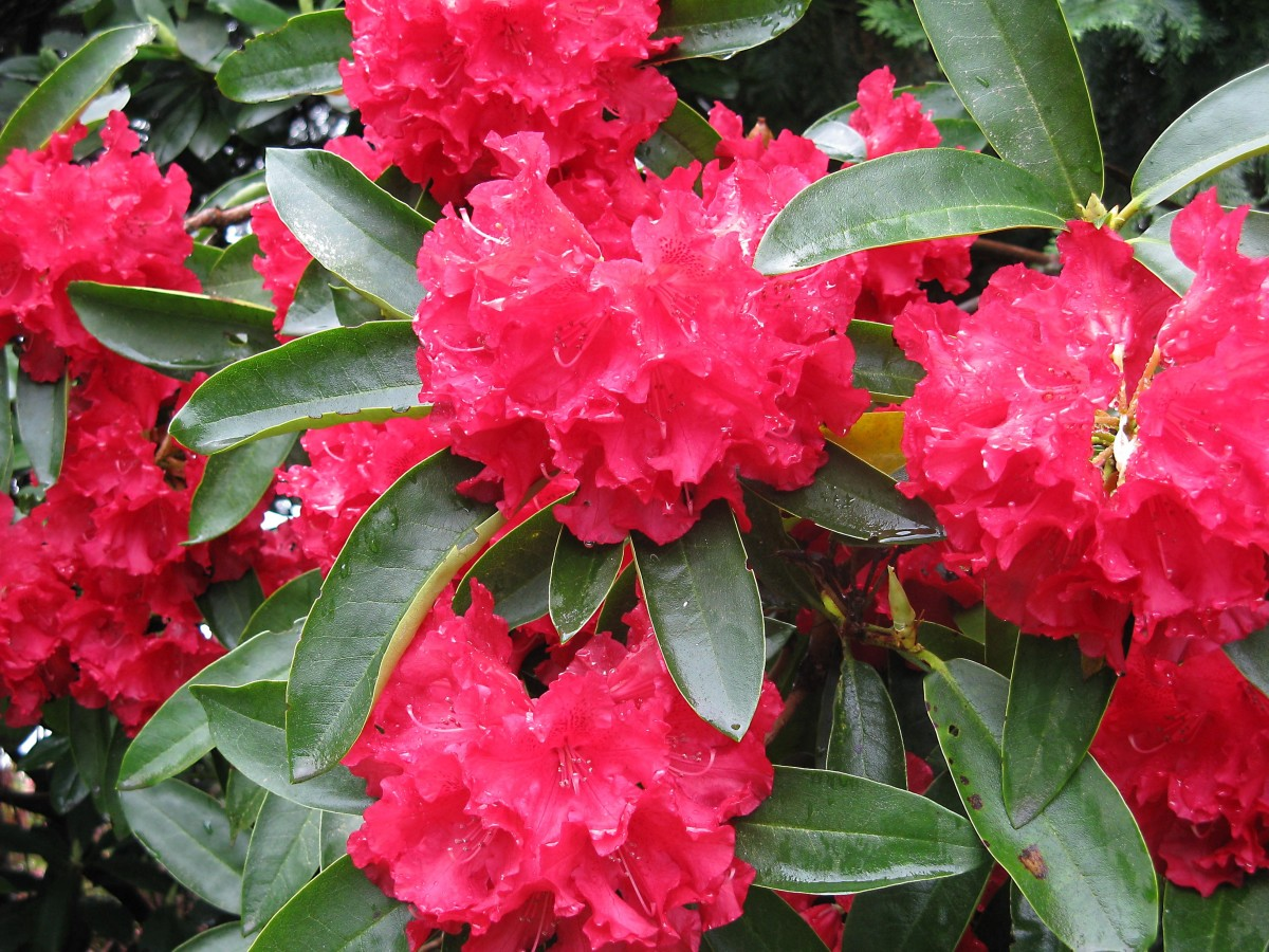 A red rhododendron